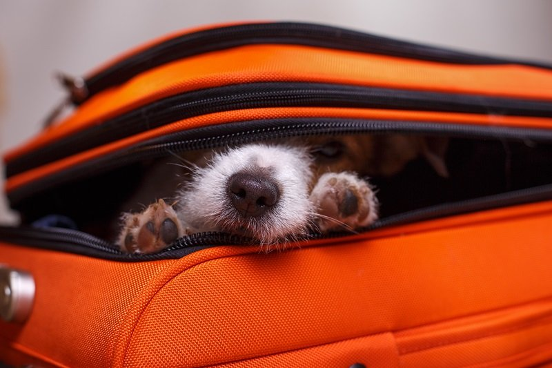 Dog Jack Russell Terrier sitting in a suitcase