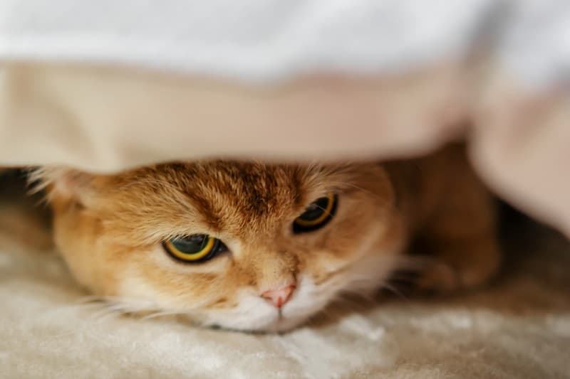 A sad orange cat under the blanket