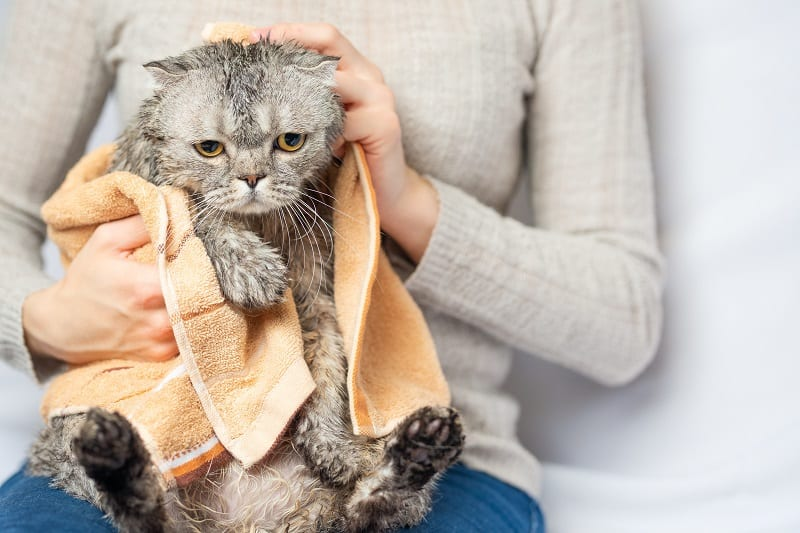 Scottish or British cat after shower, wipe and dry