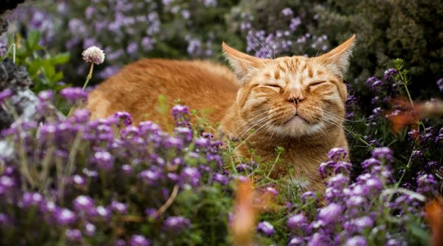 Content orange tabby cat scenting the breeze in a flower patch