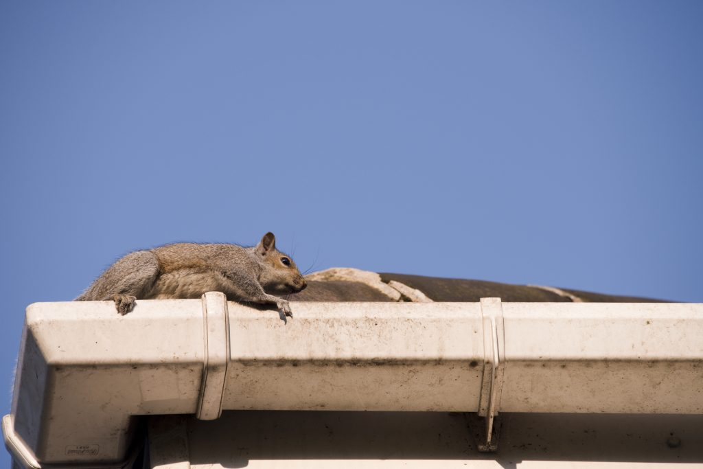 A young squirrel on the roof: running along the gutter as it tries to leave the nest in the attic