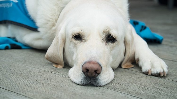 easy ways to clean dogs eyes and get rid of tear stains