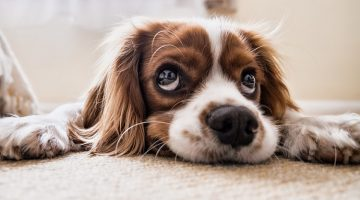 12 Easy Ways To Get Pet Urine Odors and Stains Out of the Carpet