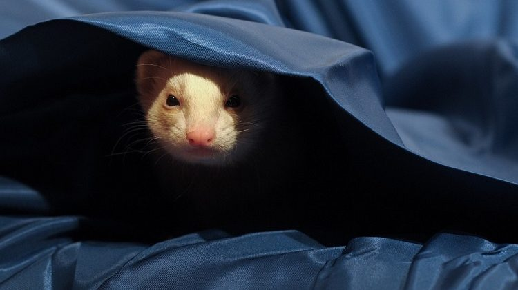 easy ways to take care of ferrets ferret care 101