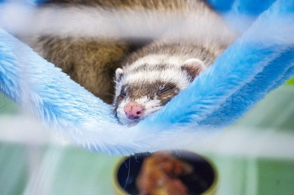 ferret facts-ways to take care of ferrets
