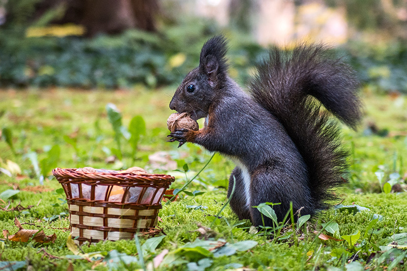 Squirrel gathering supplies from the forest floor