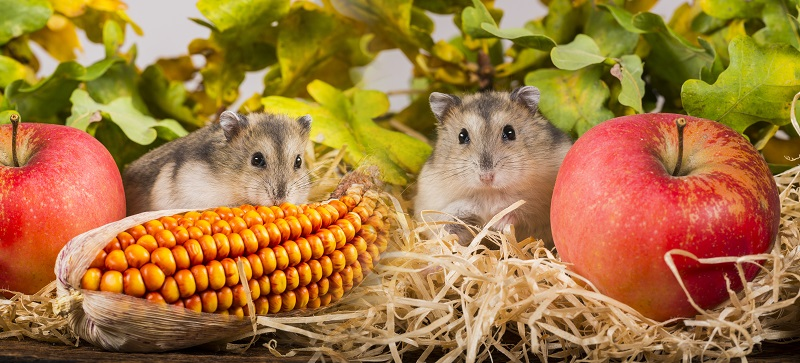 hamster eating corn and apples