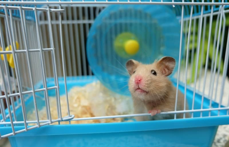 cute hamster in blue cage