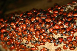 ladybugs in the house