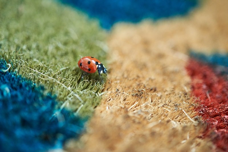 Bright red Ladybird (Coccinella magnifica) crawling across a colourful doormat.