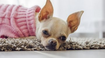 6 Easy Ways To Clean Dog Ears
