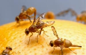 ways to get rid of fruit flies in drain