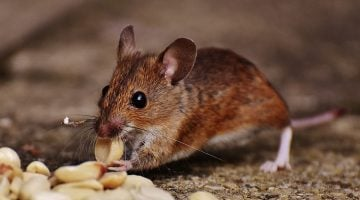 9 Easy Ways To Get Rid of Mice From Your Home