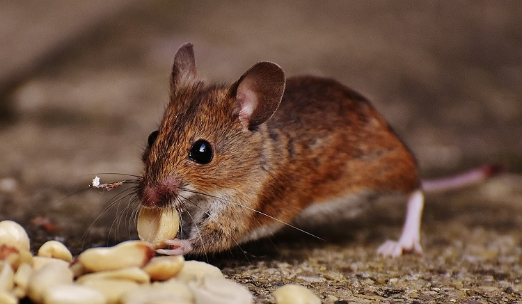 ways to get rid of mice naturally